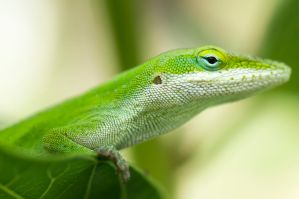 Green Anole by ProjectDarkling