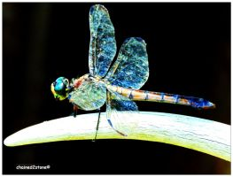 Dragonfly 5 by chained2stone