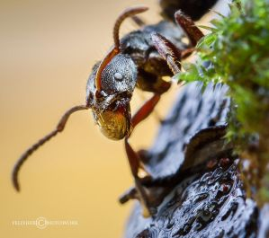 The Ant Face by felixheru