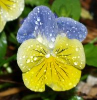 Pansy by anbdstock