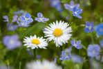 Daisies and Speedwell Flowers by enaruna