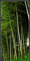 Bamboo by bwanot