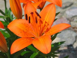 Bright Orange Lily by LittleBlueStocking