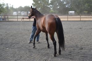 bay horse lunging by Bloodsoul-Stock