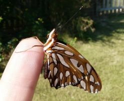 Fritillary on finger by duggiehoo
