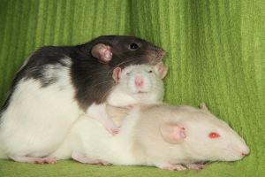 3 Rats Stock 2 by NickiStock