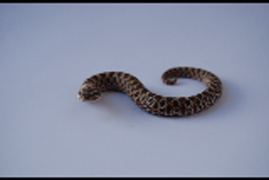 Baby Hognose 5 by FearBeforeValor
