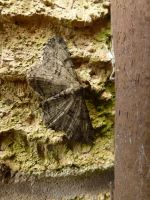 Male Willow Beauty Moth Camouflaged On House by SrTw