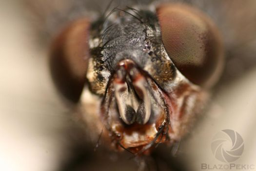 Macro fly with reversed 18-55 by z0BLA