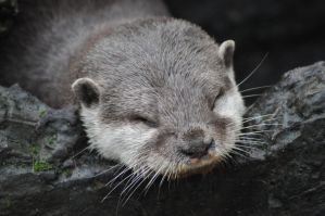 sleepy otter by tazy01