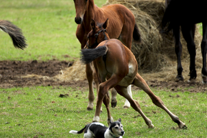 Foal and dog Stock 2 by Saerl