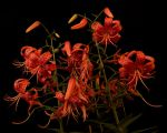 Tiger lilies lit by smartphone by avjake