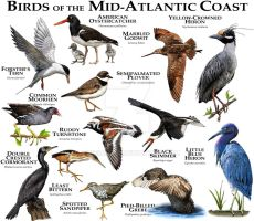 Birds of the Mid-Atlantic Coast by rogerdhall