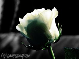 White Rose by arabianpharoe