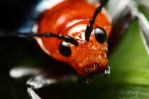 Red faced beetle by gmazza