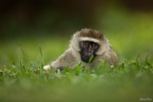 Vervet Monkey by DaSchu