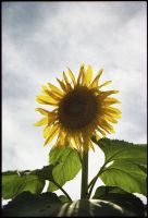 sunflower 1 by lamorth-the-seeker