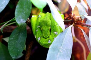 Emerald Tree Boa by Topasdragon
