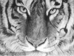 tiger by DariaGALLERY