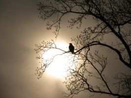 Bald Eagle in the Sun by invisiblelife