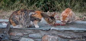 Feeding the Cats at Skiathos in Greece by OllieWie