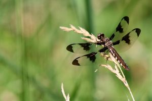 dragonfly by ringmale