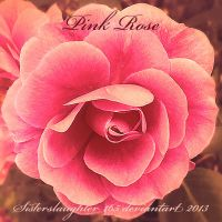 Pink Rose by Sisterslaughter165