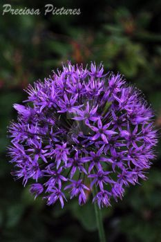 Allium by miaka-li