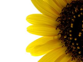 Sunflower Wallpaper by Placebow