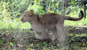 Lion Cub Stock 2 by Ghost1701d