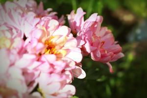 Pink flowers by kozieBubble