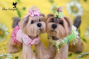 Yorkshire Terriers by KittenBlackUA