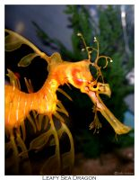 Leafy Sea Dragon by child-stainless