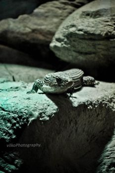 Reptile by vilkoPhotography