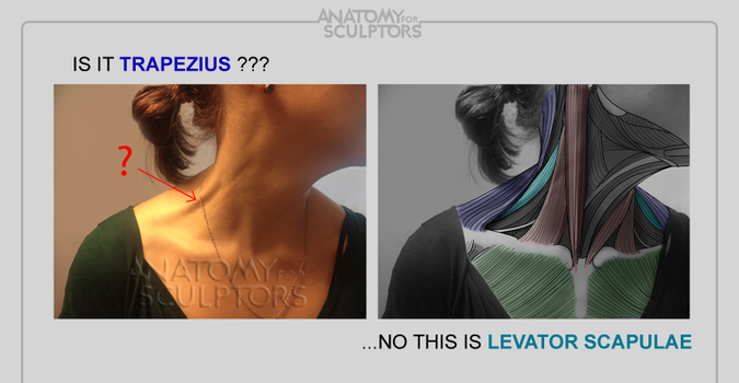 Is it Trapezius... no, this Levator Scapula by anatomy4sculptors