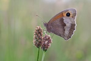 Meadow Brown by Alliec