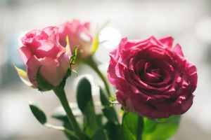 Pink roses2 by NRichey