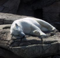 Zoo pictures 5: polar bear by hollowfyre