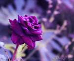 Rose untitled by BerryBlu