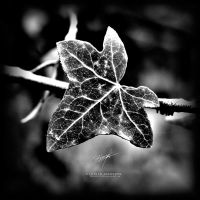 Black Ivy by DREAMCA7CHER