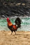 Cock on the Beach by Mac-Wiz