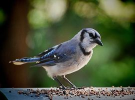 Morning Jay 7-29-11 by Tailgun2009