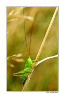 Speckled bush-cricket by grugster