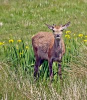 Another red deer hind by piglet365