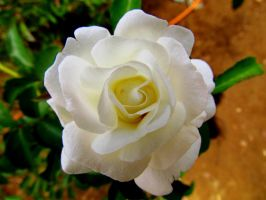 White Rose 2 by DDEBB