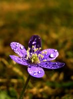 Hepatica by Meireis