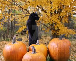 Black Cat and Pumpkins by Xilstudio