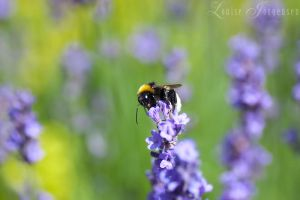 Bumble Bee by Lullsstar