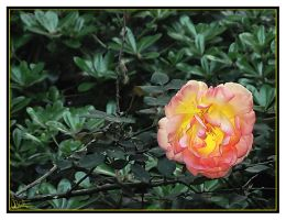 Rose by Ede1986