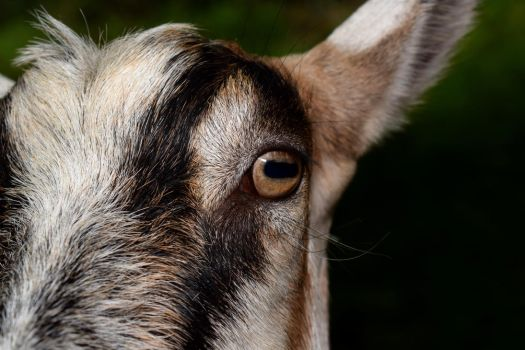 Goat close up by davidbillups